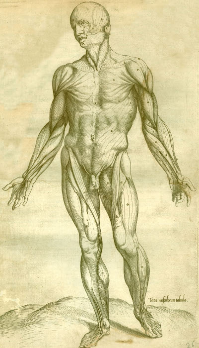 drawing of muscle anatomy of a human being