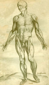 Drawing of the muscular anatomy of a human being