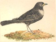 Ring Ouzel [image courtesy University of Exeter Library (Special Collections)]