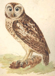 Common Brown Owl [image courtesy University of Exeter Library (Special Collections)]