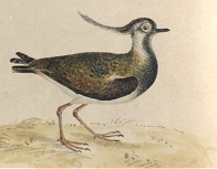 'Pea Wit' or Lapwing [image courtesy University of Exeter Library (Special Collections)]