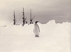 Emperor penguin with Discovery in background